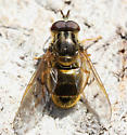 who is this golden beauty? - Ferdinandea croesus - male