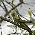 Large Green Grasshopper - Schistocerca obscura - female