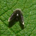 moth fly - Setomima