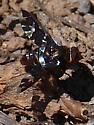 Exoprosopa caliptera