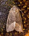 Frothy Moth - Plagiomimicus spumosum