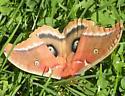 Polyphemus Moth - Hodges#7757 - Antheraea polyphemus