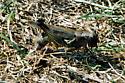 Differential Grasshopper? - Melanoplus differentialis - female