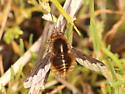 Bee fly sp. - Bombylius major