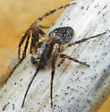 spider in lillies - Eustala anastera