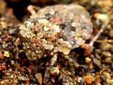 G. sp. - Gelastocoris oculatus