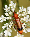 Soldier Beetle, Probably Red - Rhagonycha fulva
