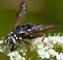 Spilomyia fusca? - Spilomyia fusca - female