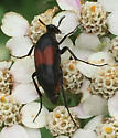 Red-winged wedge beetle - Macrosiagon cruenta