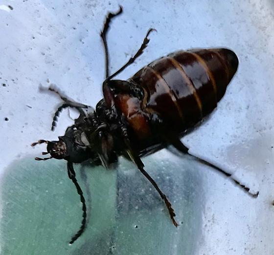 Beetle or cockroach?! - Prionus laticollis