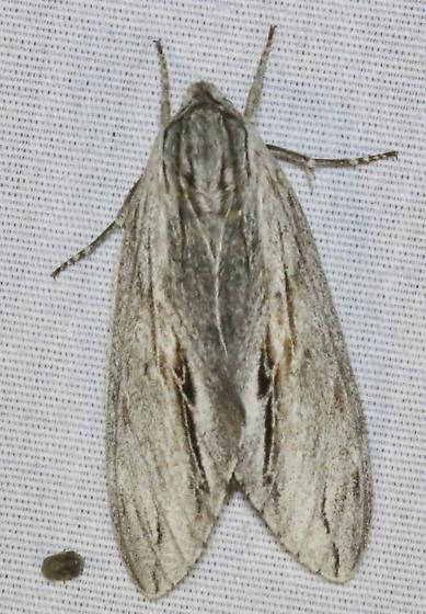 Bald Cypress Sphinx Moth - Isoparce cupressi