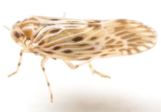 Planthopper? - Cedusa maculata