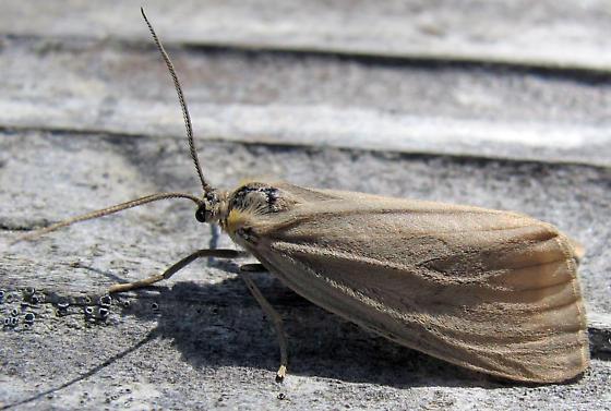 Large pale moth - Phryganidia californica - female