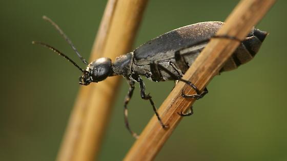 Blister Beetle - Epicauta funebris