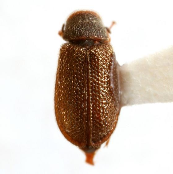 Melyrodes floridana (Casey) - Melyrodes floridana