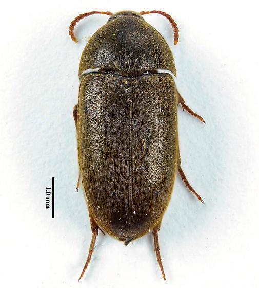 Another E. tomentosus  - Eustrophus tomentosus