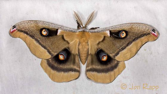 Western Polyphemus Moth - Antheraea oculea
