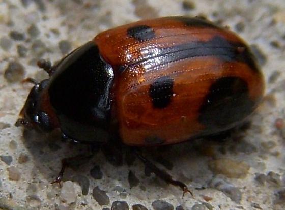 Fungus beetle- maybe Endomychus - Diaperis maculata