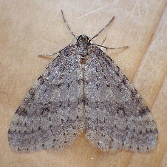 Geometridae: Operophtera bruceata - Operophtera bruceata - male
