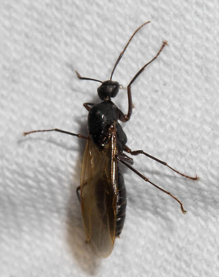 Winged black ant - Camponotus