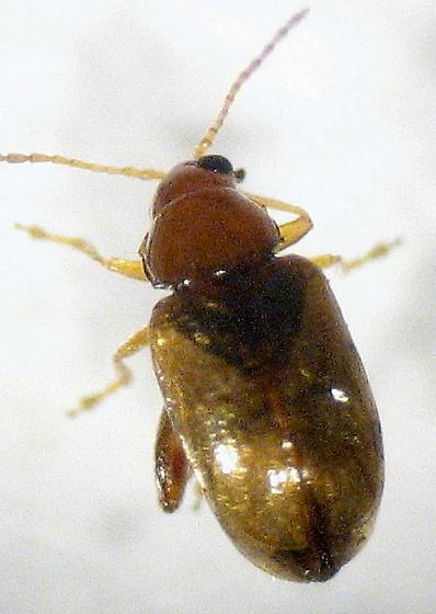 lighter little jumping beetle - Glyptina