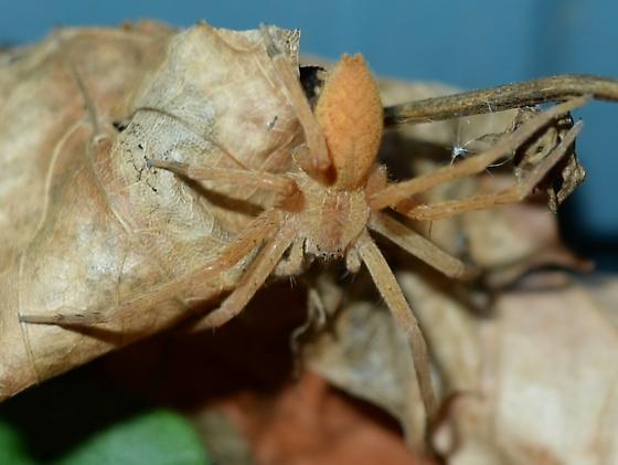 golden ghost spider? - Pisaurina mira