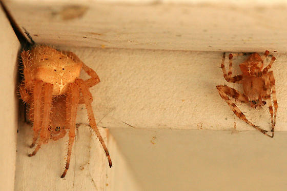 Cat-faced Spiders - Araneus gemmoides - male - female
