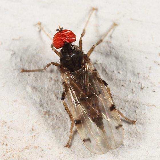 Hybotid Dance Fly - Syneches simplex
