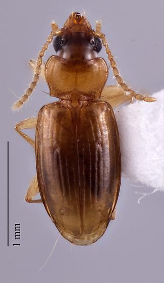 Paratachys austinicus - Tachys austinicus - male