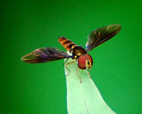 Fly - Ocyptamus - male