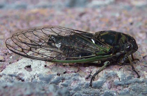 Cicadidae: Tibicen canicularis? - Neotibicen canicularis