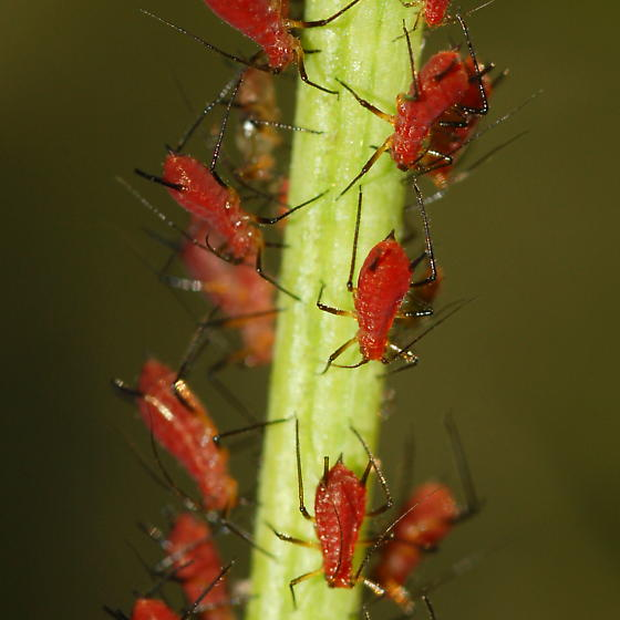 Uroleucon? on Heliopsis helianthoides - Uroleucon