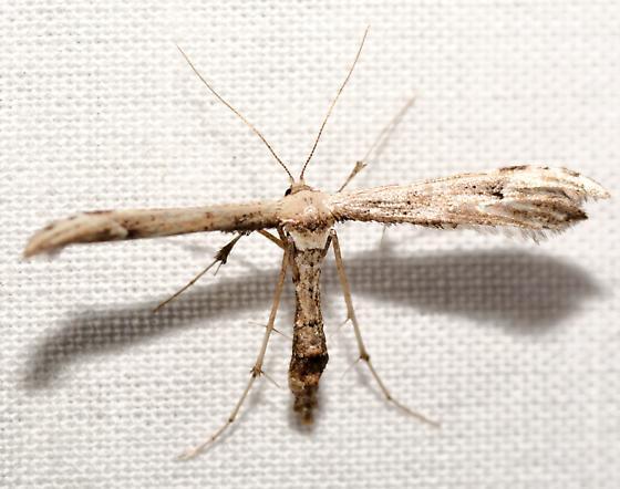 Eupatorium Plume Moth, 6168 - Oidaematophorus eupatorii