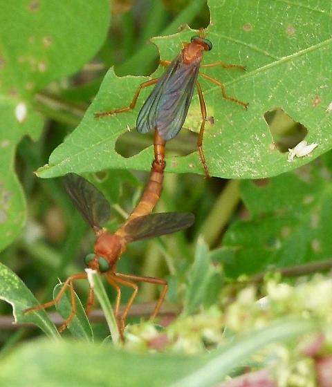 orangey flyer, green eyes, longish segmented tail - Plesiomma unicolor