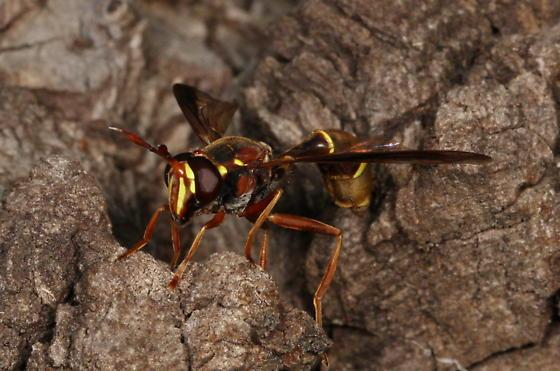 Fly - Polybiomyia - male