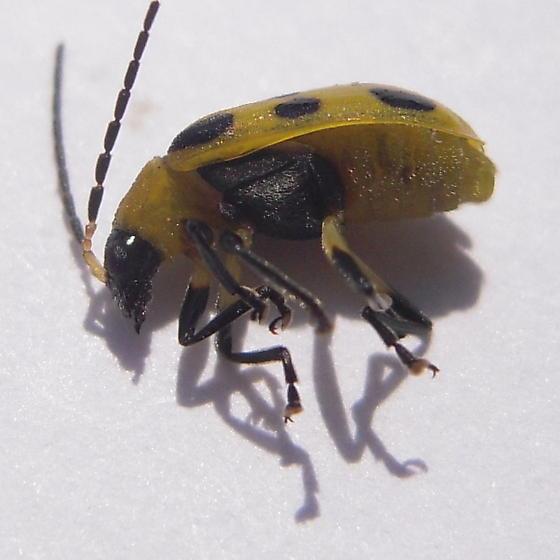 beetle - Diabrotica undecimpunctata