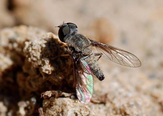 Aphoebantus fumosus - male