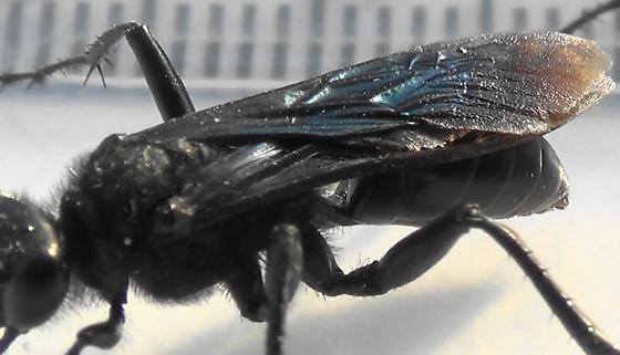 Thread-waisted Wasp Segmented (wing cells) - Prionyx - male