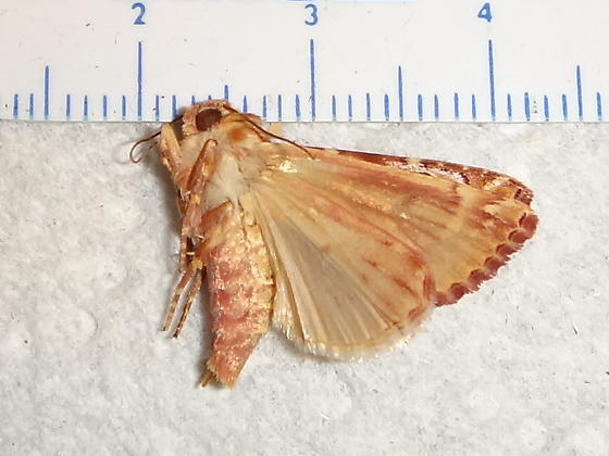 Amazing Moth! - Hypotrix hueco