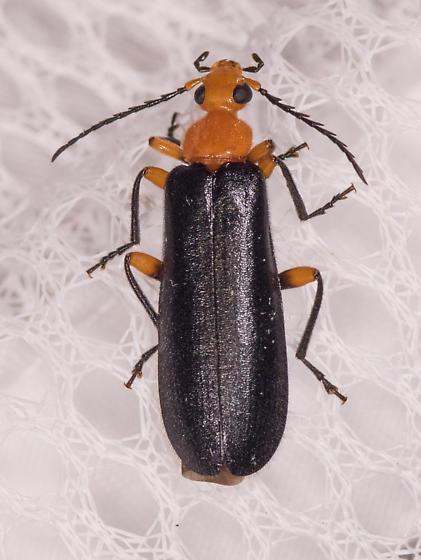 Beetle for ID - Neopyrochroa femoralis