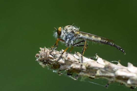 Robber Fly - Neoitamus flavofemoratus