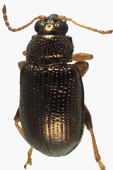 Leaf Beetle - Crepidodera heikertingeri