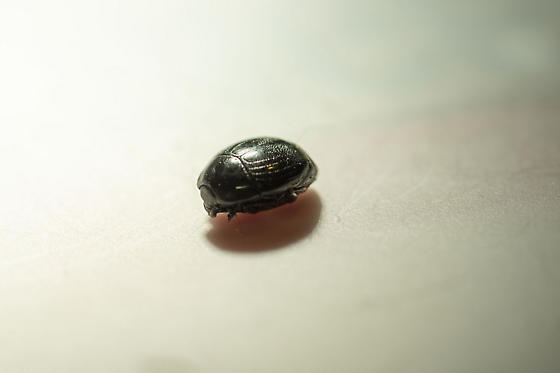 pill beetle?