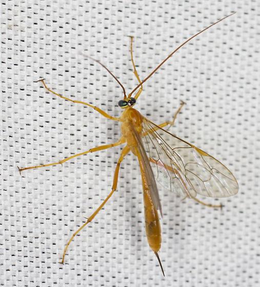 Wasp sp.  - Netelia
