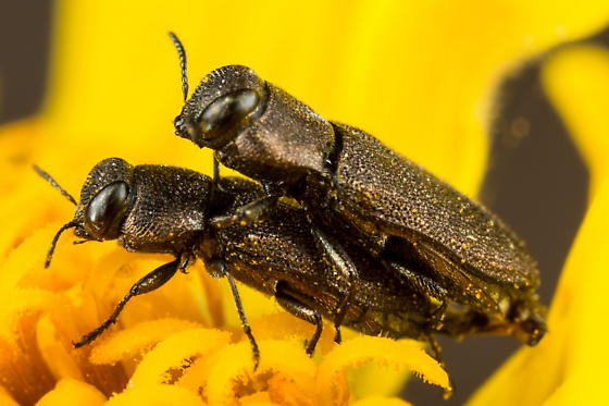 Anthaxia sp.? - Anthaxia - male - female