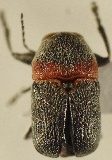 Pachybrachis sp. - Pachybrachis thoracicus