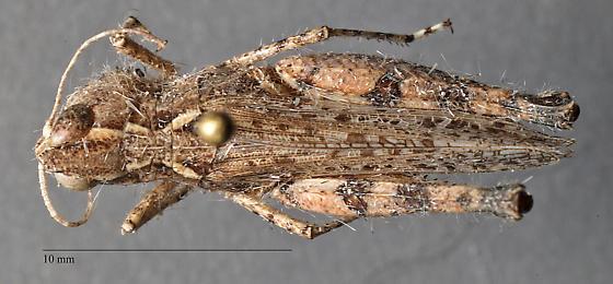 Acrididae -  Ageneotettix deorum? - female