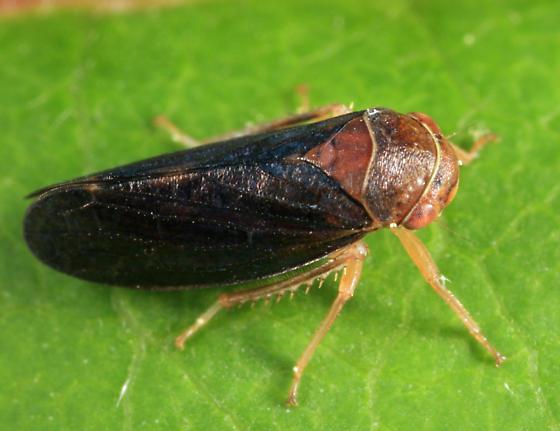 leafhopper - Oncopsis sobria - male