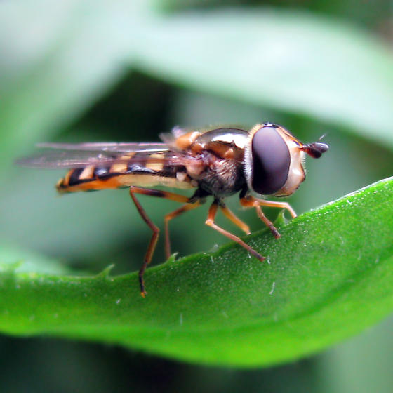 American Hover Fly - finally a female - Eupeodes americanus - female