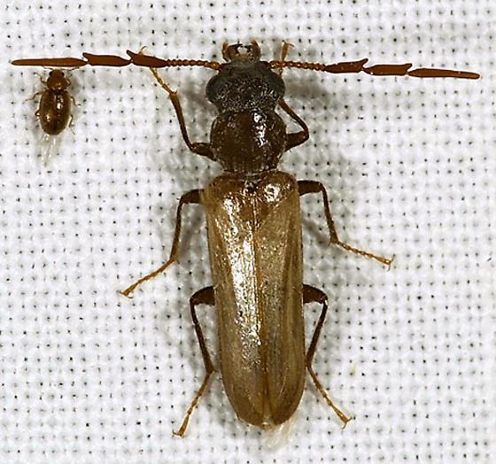 Arizona's Dead Log Beetle - Trimitomerus riversii - male